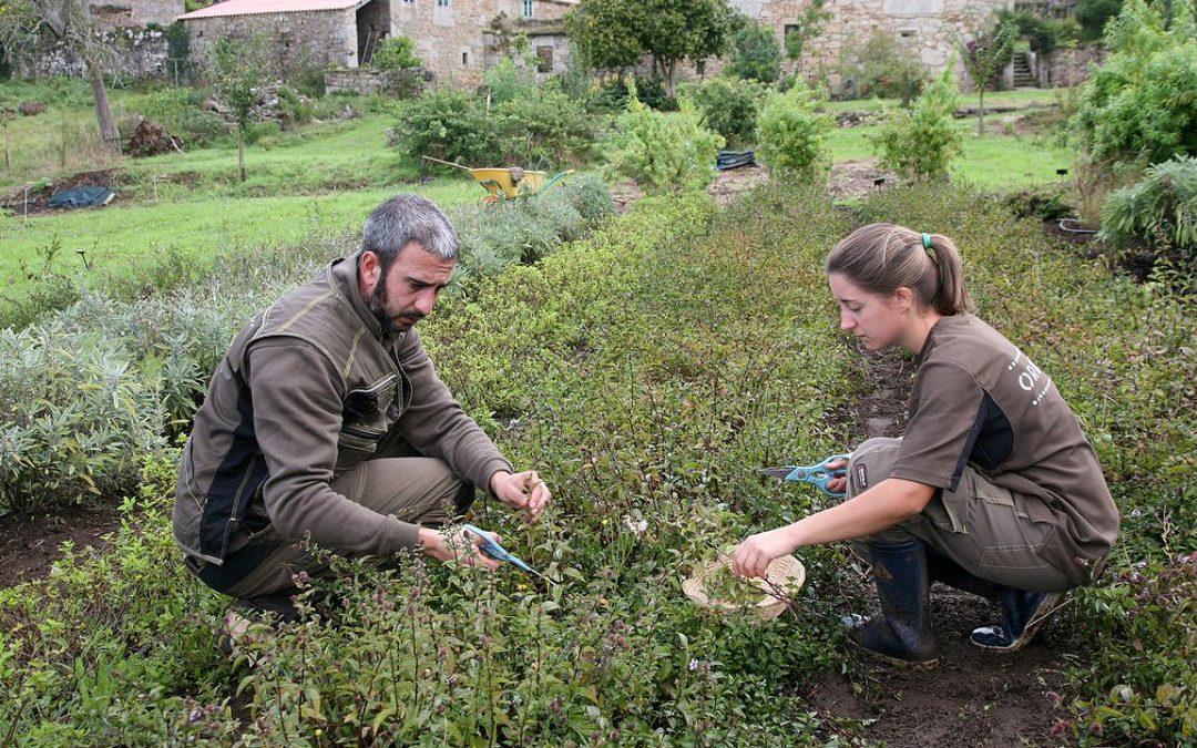 La única plantación industrial de té de la Europa continental está en Galicia Orballo, una pequeña empresa de A Coruña, venderá este año la primera cosecha