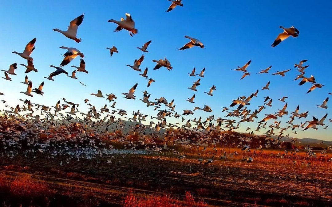 ¿A qué distancia máxima emigran las aves? Noa, 12 años