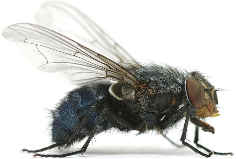 ¿É verdade o que as moscas só viven un día? ¿Por que? Xiana, 12 anos