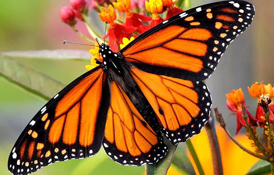 Se as bolboretas só viven un día, canto viven sendo orugas? Xana, 12 anos