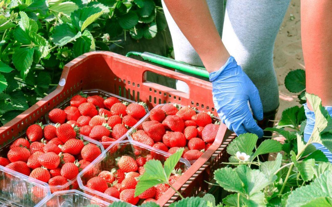 A la naturaleza le gusta que consumas productos de temporada Fresas, espinacas, tirabeques o guisantes están ahora en su mejor momento